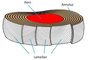 De discus bestaat uit een kern (nucleus polposus) en daar omheen zo'n twintig lamellen vol met vezels. Deze vormt een ring die de annulus wordt genoemd.